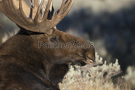 bull shiras moose alces alces sherasi