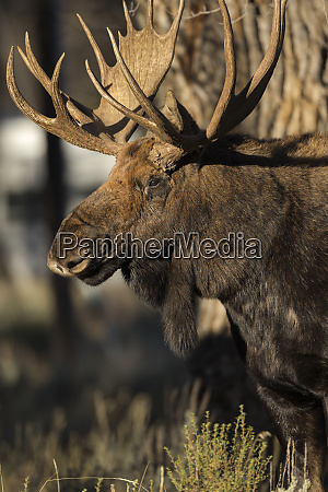 bull shiras moose in campground alces