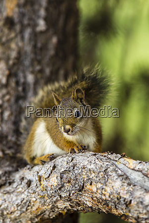 red tree squirrel posing on branch