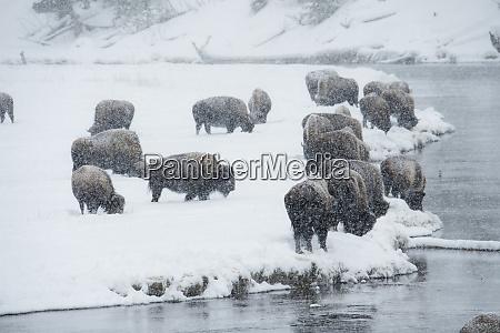 usa wyoming yellowstone national park winter