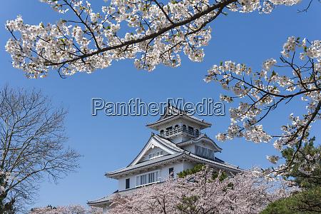 nagahama castle with sakura blooming season