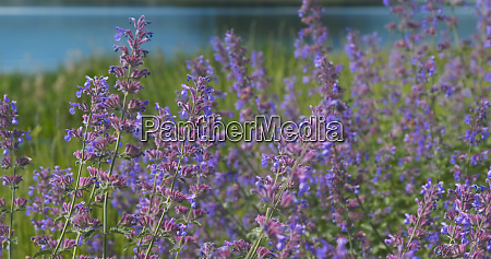 lavender field in kawaguchiko in japan