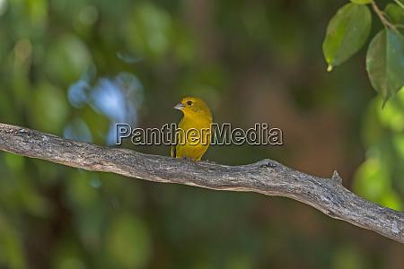 a saffron finch in a tropical