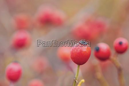 briar wild rose hip shrub