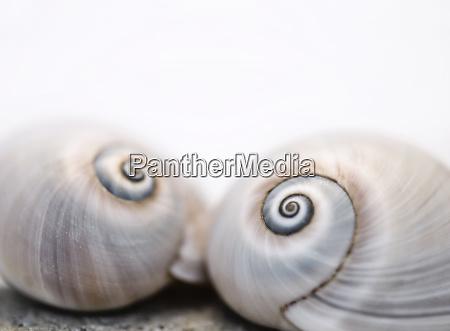 neverita duplicata shark eye sea snail