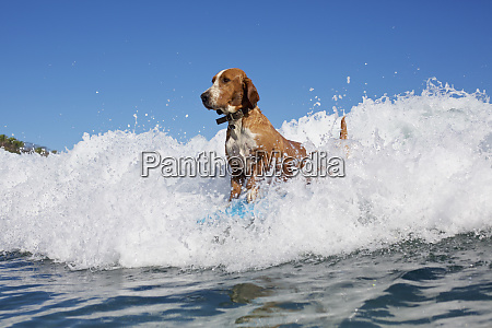 dog surfing riding ocean wave
