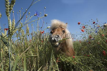 portrait pony in sunny rural field