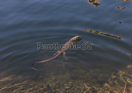 monitor lizard swimming in sunny water
