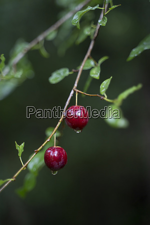 berries on a twig