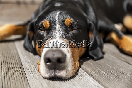 portrait of sleepy dog lying on