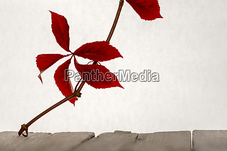 red autumn leaf on a branch