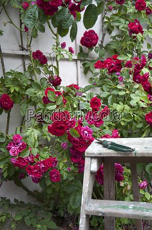 red garden roses