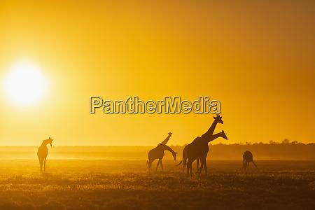 africa namibia etosha national park giraffes
