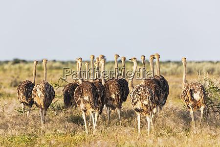 namibia etosha national park african ostriches