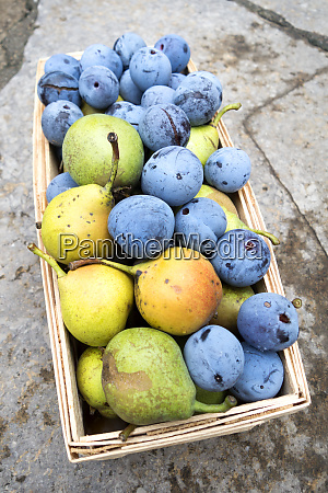 harvest plums and pears in basket
