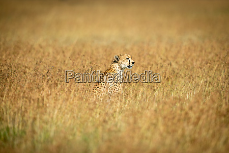 cheetah sits in middle of long