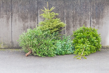 traditional green christmas trees firs on