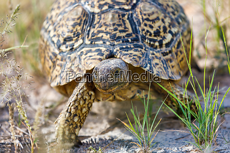 turtle leopard tortoise south africa wildlife