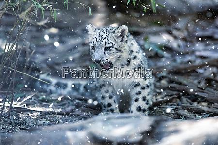 cute kitten of snow leopard cat