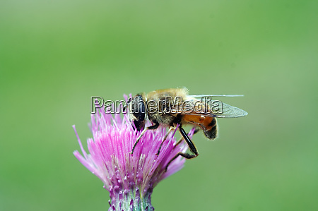 dusting syrphyd fly on the