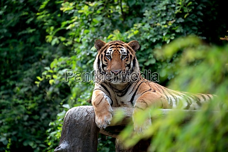bengal tiger resting among green bush