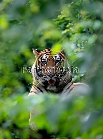 bengal tiger resting among green bush
