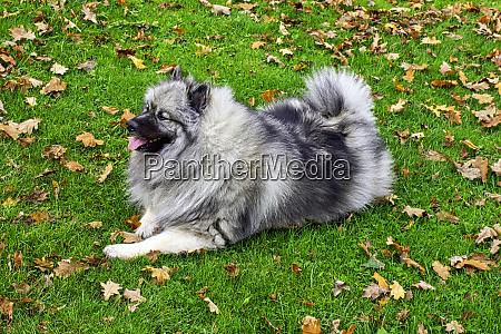 keeshond is a medium sized dog