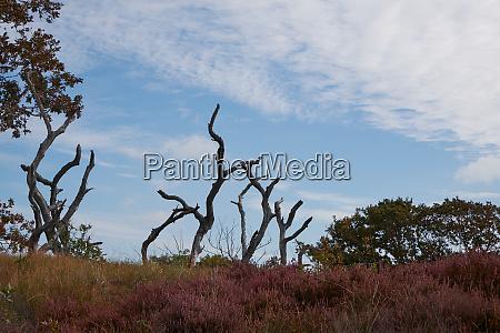 dead trees in a flowering purple