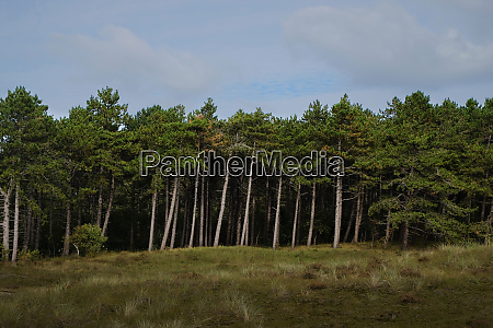 pine tree forest edge from a