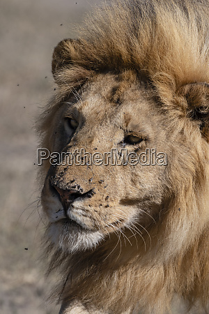 male lion panthera leo ndutu ngorongoro
