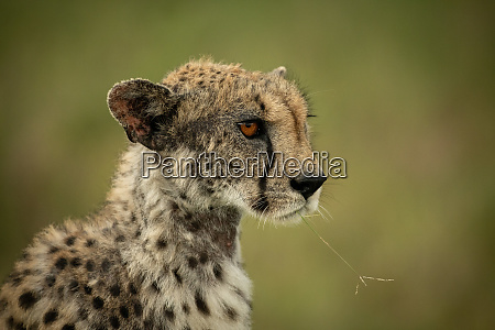 close up of cheetah chewing blade