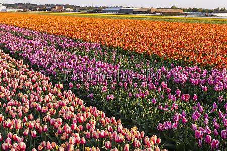 tulip fields around lisse south holland