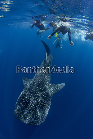 tourists snorkelling with a whale shark