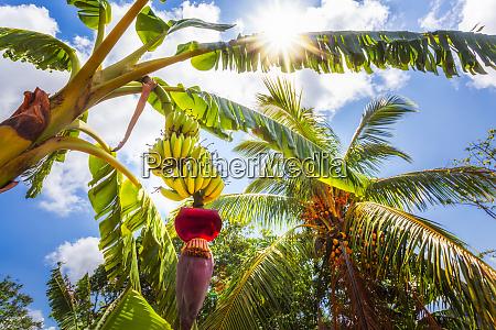 banana tree in vinales unesco world