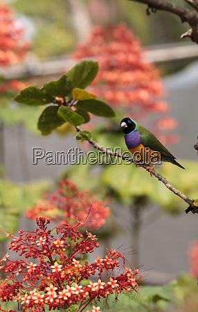 colorful lady gouldian finch erythrura gouldiae