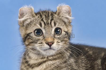 cats american curl 2019 18156