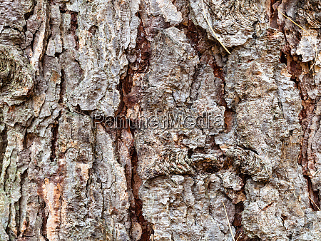 cracked bark on mature trunk of