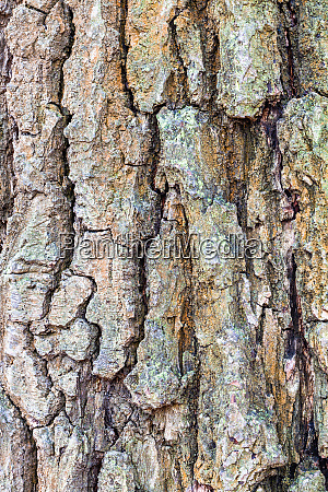 wrinkly bark on old trunk of