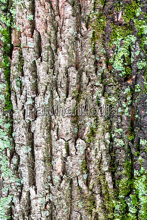 mossy and grooved bark on old