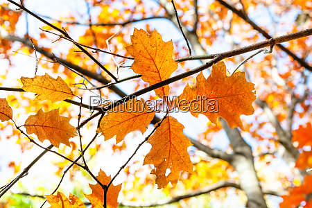 twigs with orange leaves of red