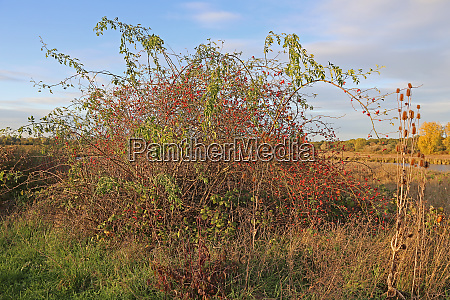 wild rose bush with rose hips