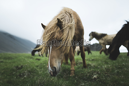 brown horse grazing in iceland