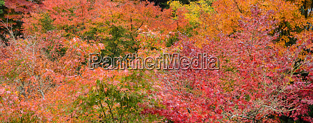 japanese maple autumn color leaves