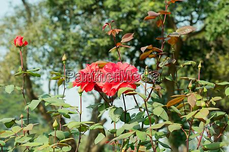 a red rose genus rosa