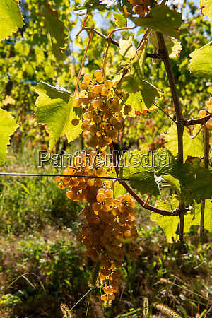 grapes for jurancon wine in southwest