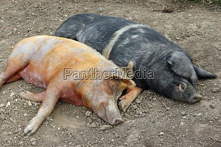 tamworth and essex saddleback pigs