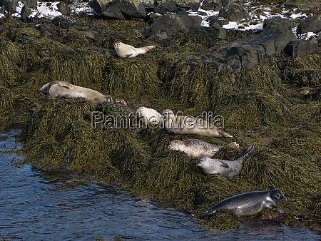 several seals sunbathe in a small