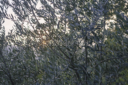 olive grove at sunset