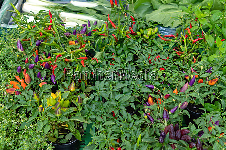 grow chili plants