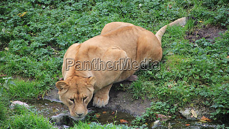 thirsty lioness drinking clean water